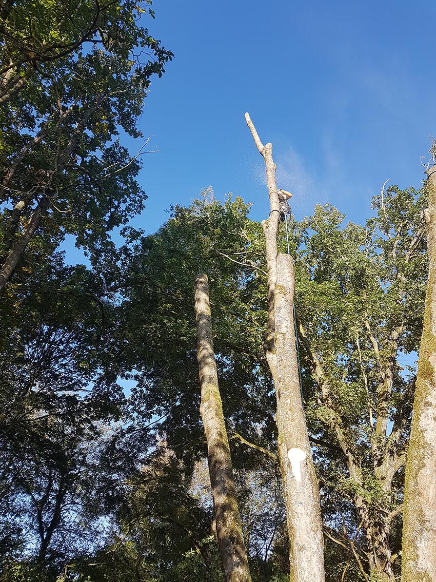 élagage en haut d'un arbre
